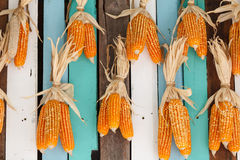 Dried corn hung on colorful wooden wall Royalty Free Stock Photos