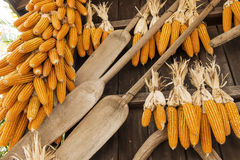 Dried corn hung up outside rural house in Thailand Royalty Free Stock Photo