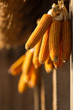 Dried corn hunging Stock Photos