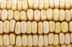 Dried corn kernels. Royalty Free Stock Image