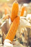 Dried corn maize crops. In agriculture corn field Royalty Free Stock Photography