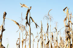 Dried corn plants Royalty Free Stock Photography