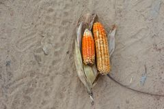 Corn is a fungal disease Royalty Free Stock Images