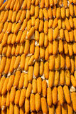 Dried corn situated mid sunlight , healthy organic nutrition , abstract backgrounds Royalty Free Stock Photo