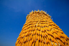 Dried corn situated mid sunlight , healthy organic nutrition , abstract backgrounds Stock Image