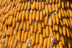 Dried corn situated mid sunlight , healthy organic nutrition , abstract backgrounds Stock Photography