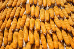 Dried corn situated mid sunlight , healthy organic nutrition , abstract backgrounds Royalty Free Stock Image