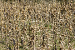 Dried corn stalks background Royalty Free Stock Photography
