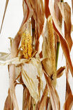 Dried corn and stalks Stock Image