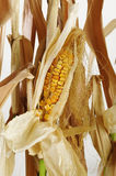Dried corn and stalks Royalty Free Stock Images