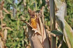 Dried corn Royalty Free Stock Photography