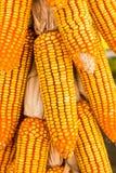 Dried corn to reduce moisture Stock Photo