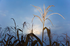 Dried corn tree in corn filed against blue early morning sky Stock Image