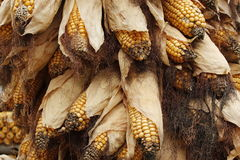 Dried corn Stock Photo