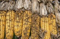 Dried corns Royalty Free Stock Photos