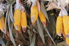 Dried corns Stock Photos