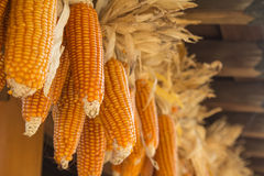 Dried corns Stock Image