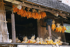 Dried corns is hanged on the roof of ethnic minority's house Stock Image