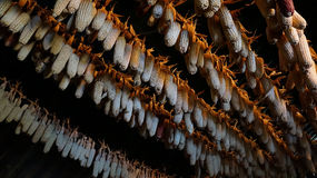 Dried corns is hanged on the roof of Hmong simple house Stock Photos