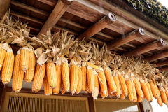 Dried corns. Rows of dried corns hanging from the eaves of an ancient house. This picture was taken from Oshino Hakkai Village , Nikko , Japan Royalty Free Stock Photos
