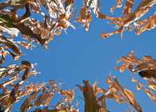 Dried cornstalks creating an oval frame. Tall cornstalks photographed from below, forming an oval border with blue sky background Royalty Free Stock Photography