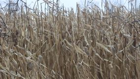 Cornstalks in a Field Blowing in the Wind stock footage