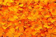 Dried cosmos flowers. Close up of dried cosmos flowers background Royalty Free Stock Photos