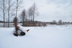Dried cow skull in the snow,. The concept of mortality of cattle in the winter Stock Photo
