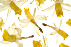 Dried Daffodil Flowers on White Royalty Free Stock Images