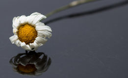 Dried Daisy. Dehydrated and wilted daisy on scratched black surface royalty free stock image