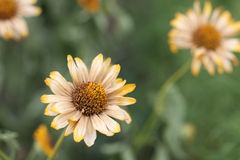 Dried daisy Stock Image