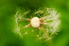 Free Dried Dandelion Royalty Free Stock Images - 18695469