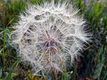 Dried Dandelion Flower Seed Pods. A complex natural pattern of a dried dandelion seed pod head amongst green weeds royalty free stock photo