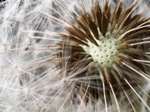 Dandelion seed head Royalty Free Stock Image