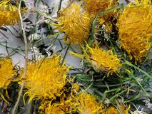 Dried dandelions. Still life of dried dandelions,daisies and grass Stock Photo