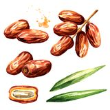 Dried date fruits with green leaves set. Watercolor hand drawn illustration, isolated on white background.  vector illustration