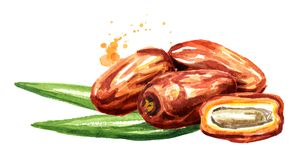 Dried date fruits with green leaves. Watercolor hand drawn illustration, isolated on white background.  royalty free illustration