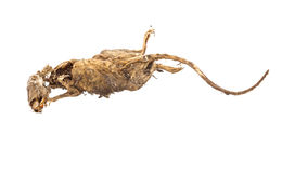 Dried dead body of rat Royalty Free Stock Photos