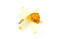 Dried dead flower on white Stock Photos