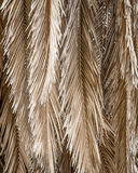 Dried Dead Palm Fronds Hanging From the Tree Royalty Free Stock Photography