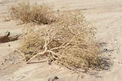 Dried dead plants in an arid desert Stock Photo