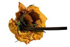 Dried dead rose with a stalk from behind isolated. On white background Royalty Free Stock Photo