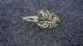 Dried marine parasite on a sandy beach Stock Photos
