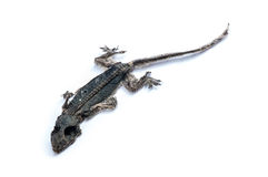 Dried dead small lizard. Showing its body skeleton isolated on white Royalty Free Stock Photos