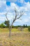 Dried dead tree Royalty Free Stock Photos