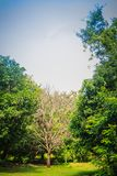 Dried dead tree is standing among green life trees under blue sk Royalty Free Stock Photography