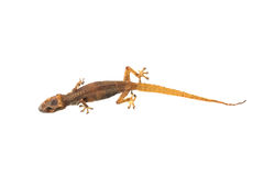Dried Death Lizard Stock Image