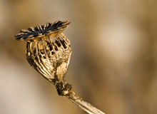 Dried and decayed flower Stock Image