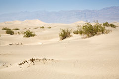 Dried desert gras in Mesquite Flats Sand Dunes Royalty Free Stock Images