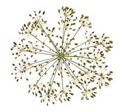 Dried Dill Flower Seed Stock Images